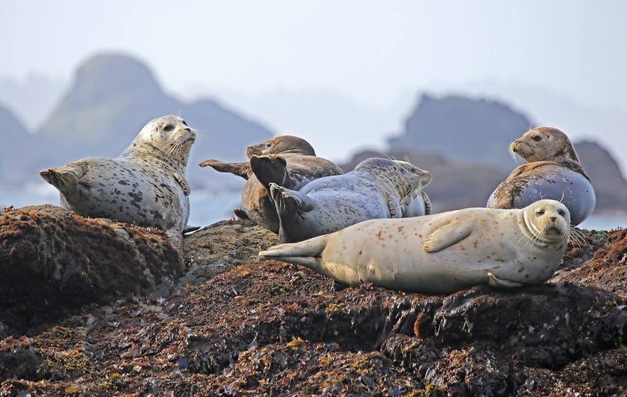 Hvammstangi is one of the best places in the world to learn about seals.