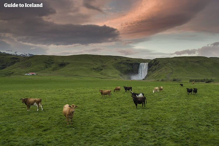 Cows grazing in front of Skógafoss waterfall.