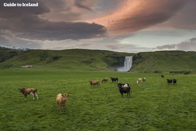 Коровы на фоне водопада Скогафосс