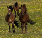 Icelandic horses can be found on Heimaey in the Westman Islands.
