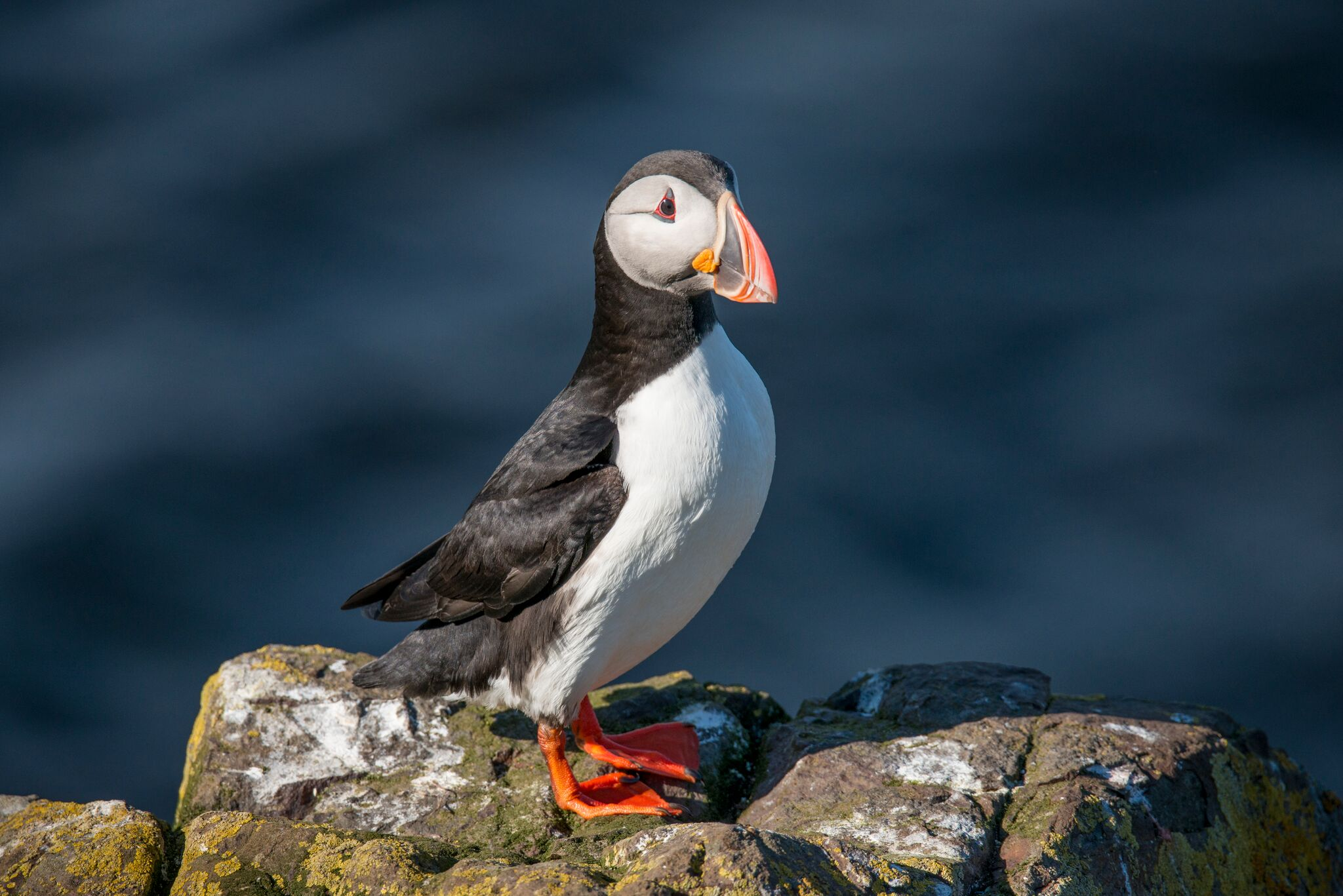 A puffin standing proudly on a rock near the ocean.