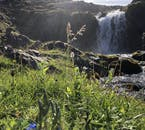 Forget-me-nots growing by a small waterfall, east Iceland.