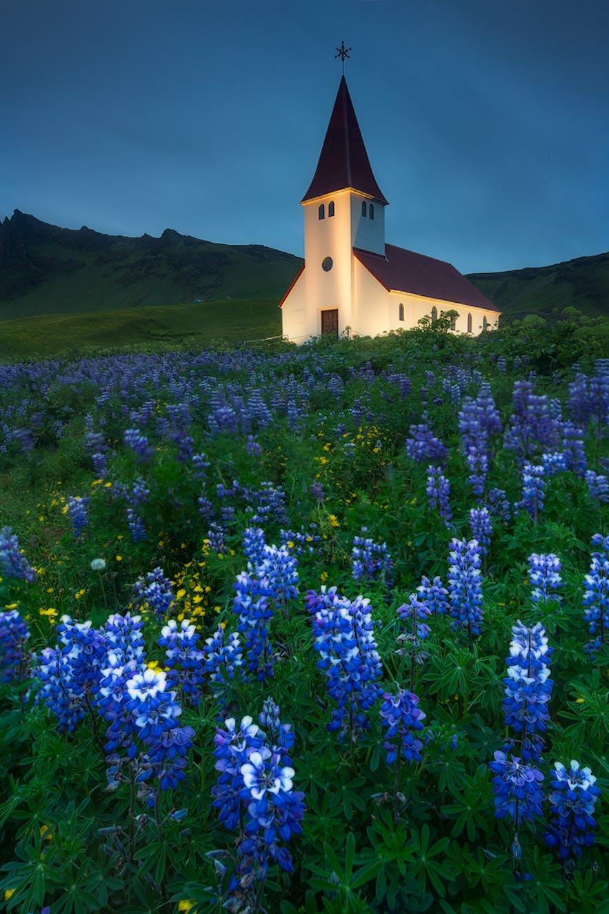 冰岛夏季被鲁冰花簇拥的维克镇教堂