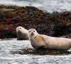 Seals resting at Ytri Tunga beach, a well known seal colony in west Iceland.