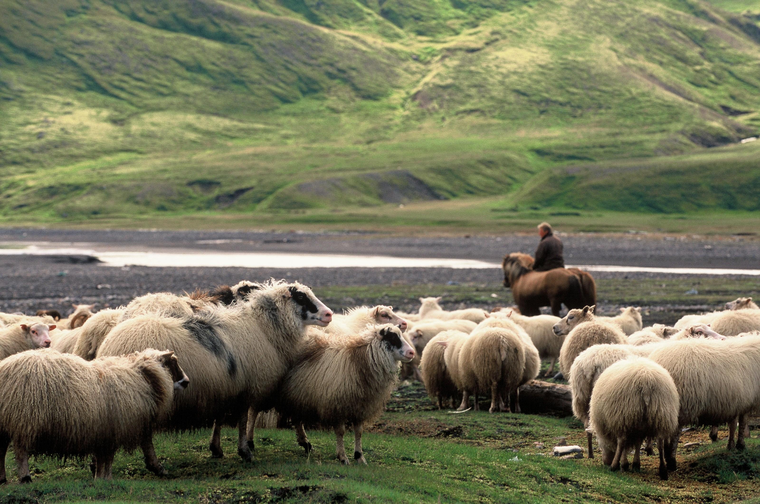 在冰岛东峡湾Borgarfjörður Eystri小镇的当地农民正在为圈羊做准备