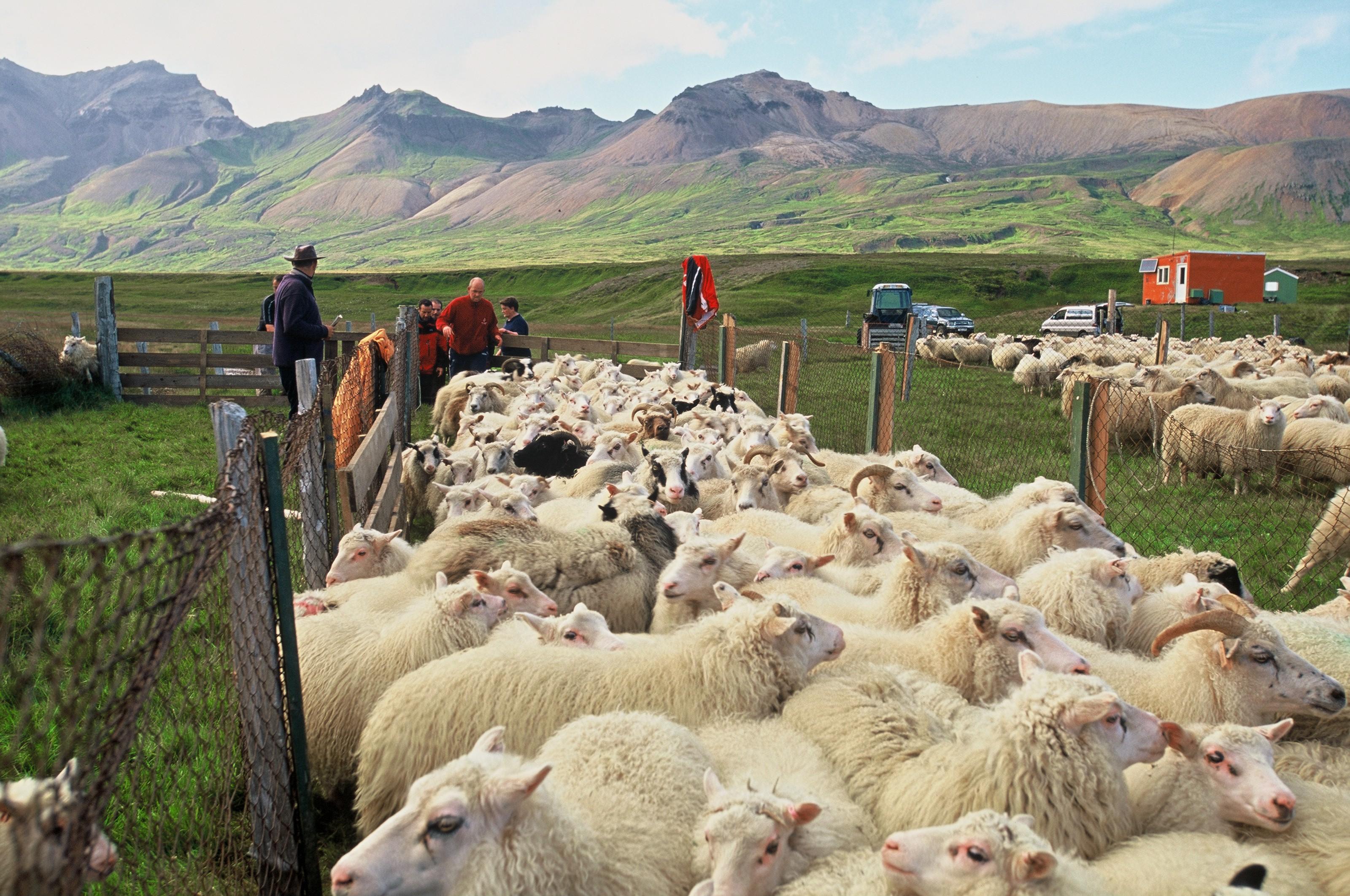 最后一批正在等待被冰岛农民带回家的冰岛羊