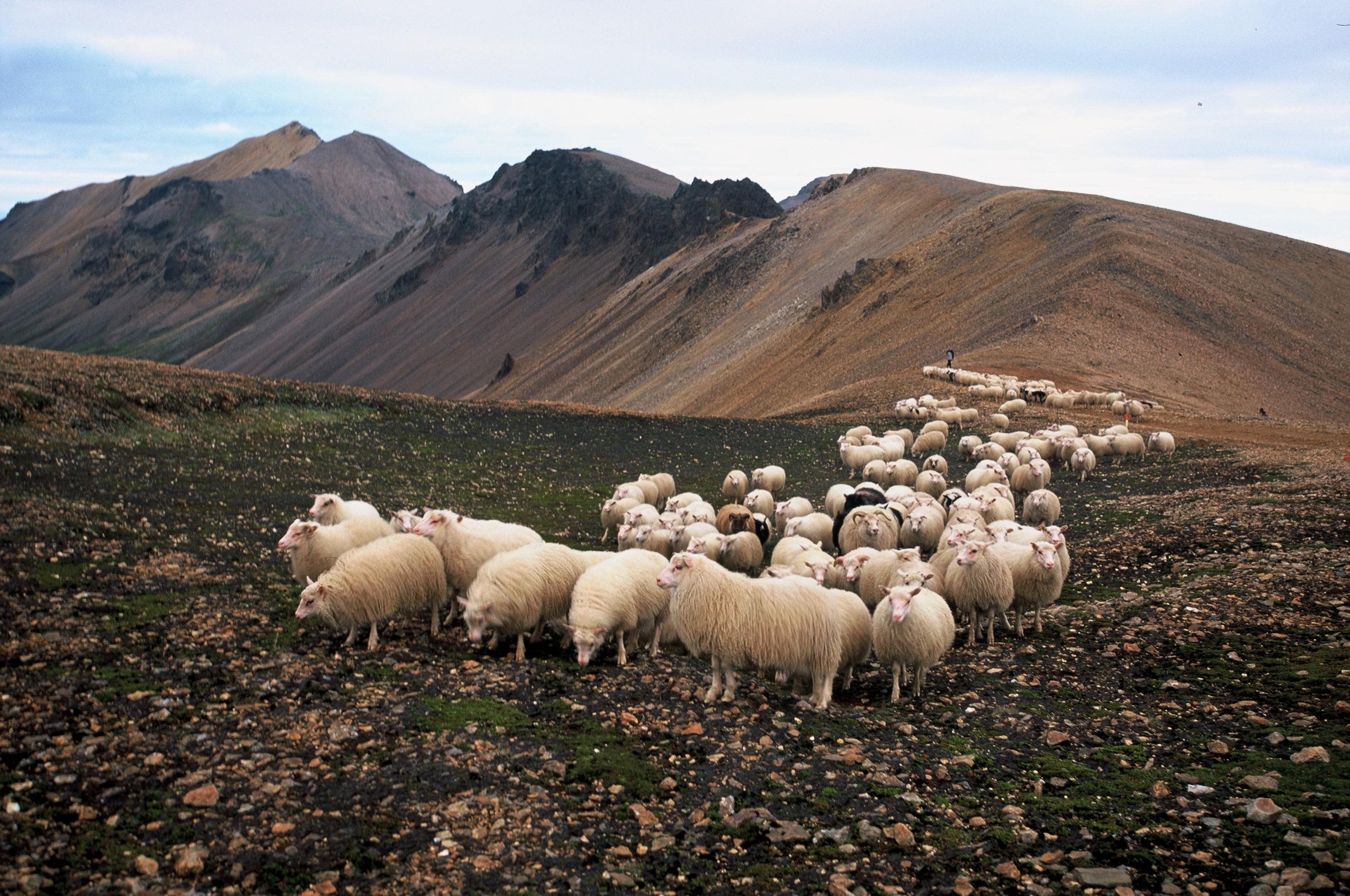在夏季放养的羊群从冰岛中央高低被带回牧场