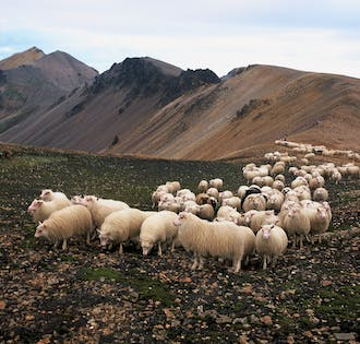 Native Icelandic Adventure | Sheep Round-Up in East Iceland