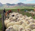 A group of sheep after roundup, being loaded to a truck to be taken home for winter.