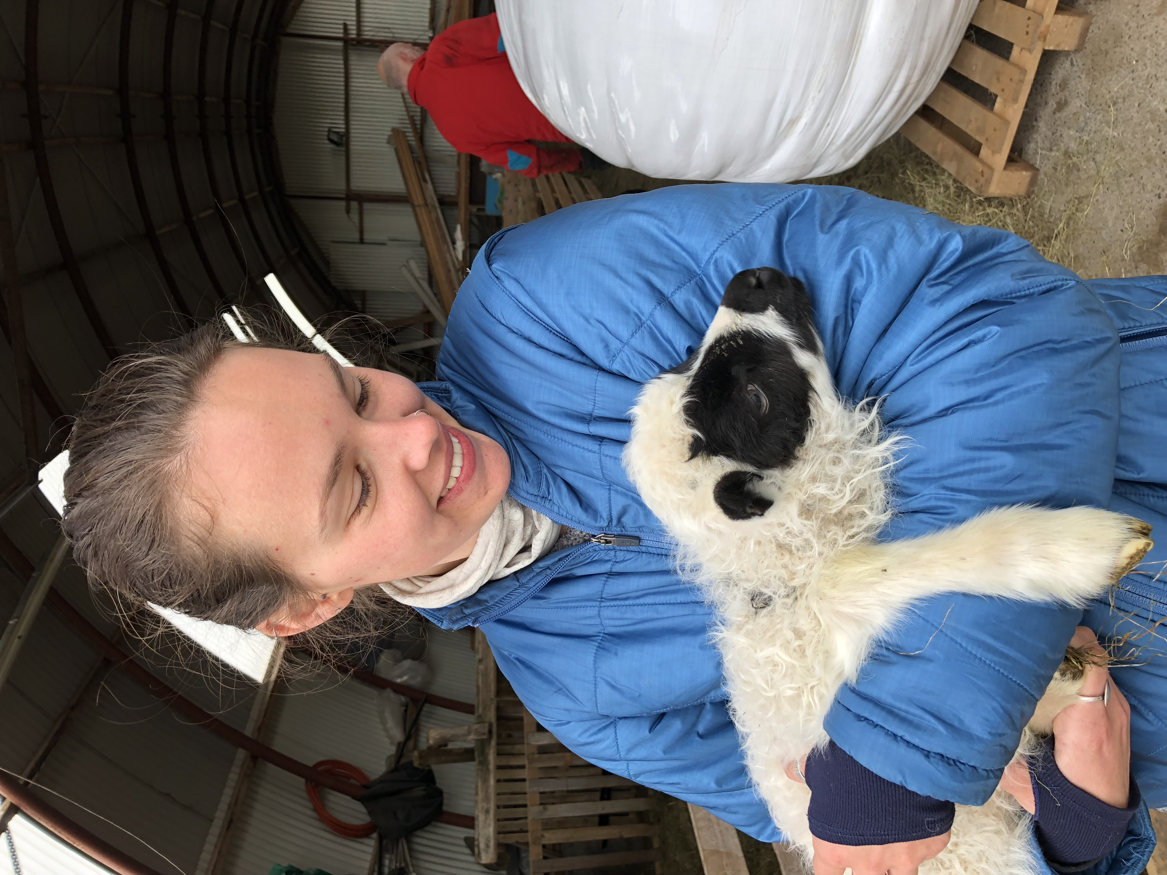 A spring lamb enjoying cuddles in the arms of a visitor.