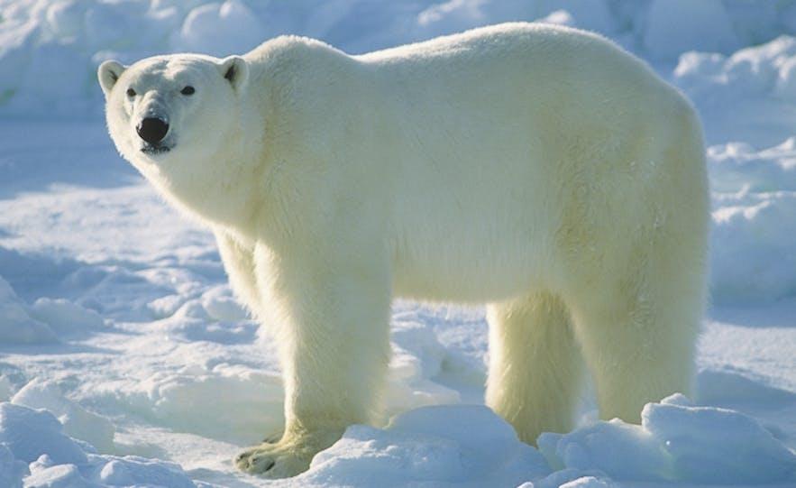 憨厚可掬的北极熊很少在冰岛出没