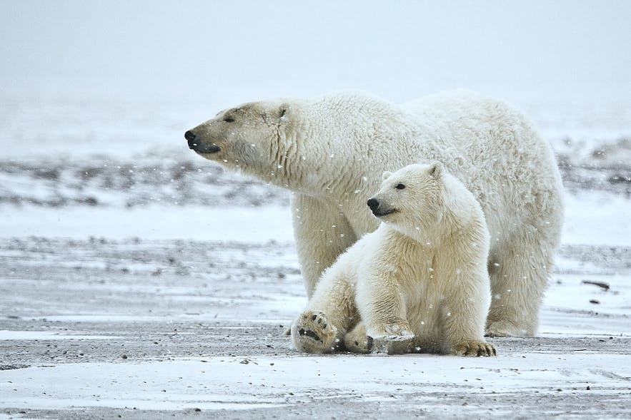 Two polar bears who also do live in Iceland.