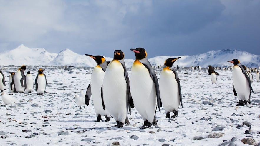 冰岛虽不能看到企鹅,但是却可以看到可爱的海鹦和北极狐