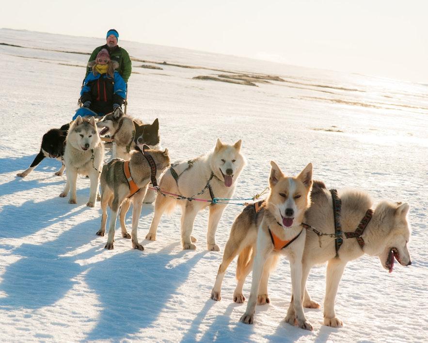 冰島黃金圈雪橇犬