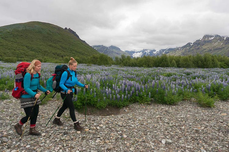 Two hikers walk past a lupine field