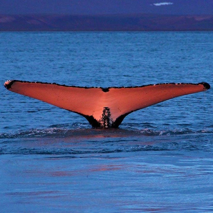 Whale Watching ist eine der beliebtesten Aktivitäten in Island.