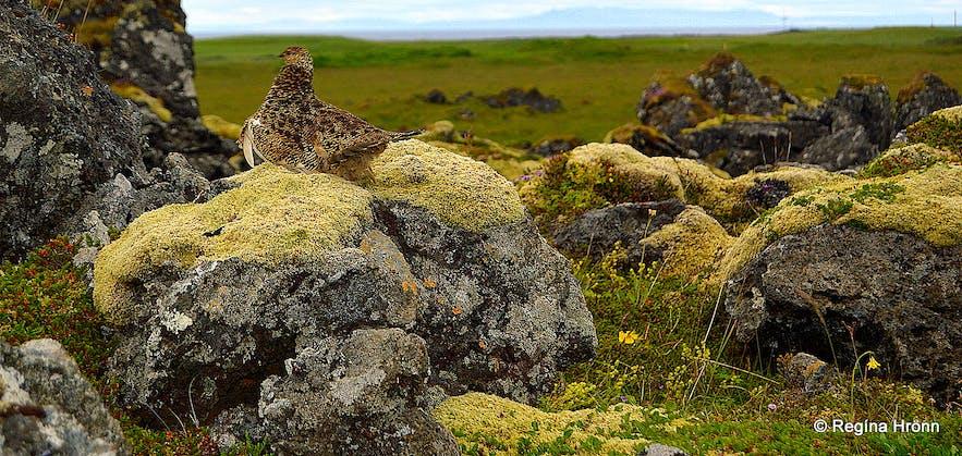 A ptarmigan at Gufuskálar