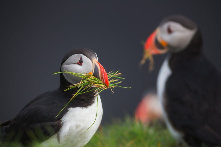 Puffins sharing lunch