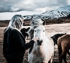 The Icelandic horse is a beautiful creature that has served the national for over a thousand years.
