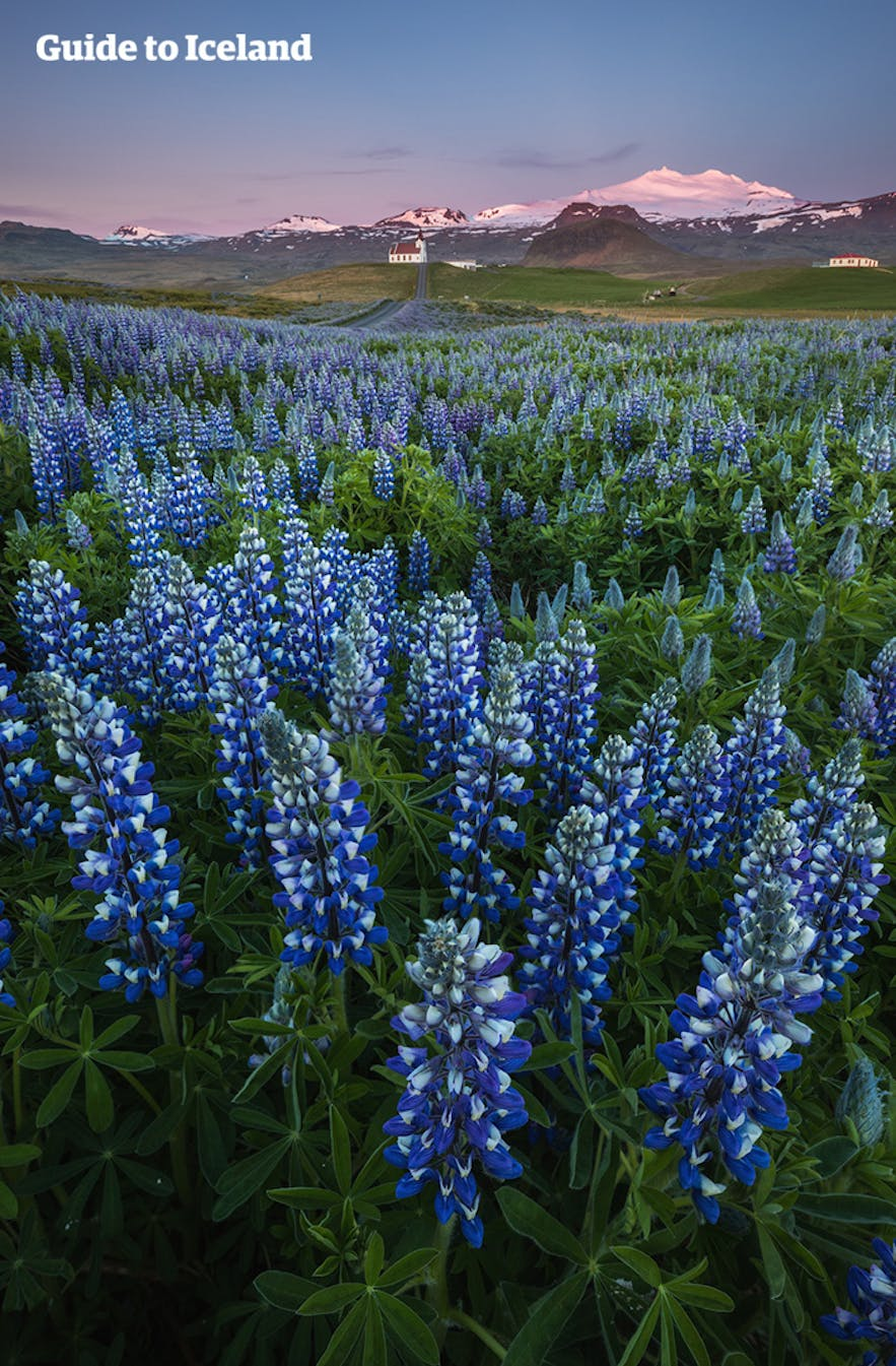 Snæfellsjökull pictured behind a field of lupins.