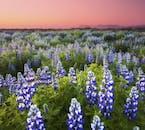 Während des isländischen Sommers bedecken Lupinen die Landschaft.