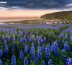 Blue lupine flowers near the South Coast town of Vík in summer.