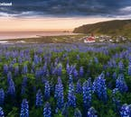 Niebieski łubin kwitnie latem w pobliżu miasta Vík na południowym wybrzeżu.