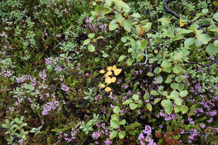 ディムボルギルで見つけた草花