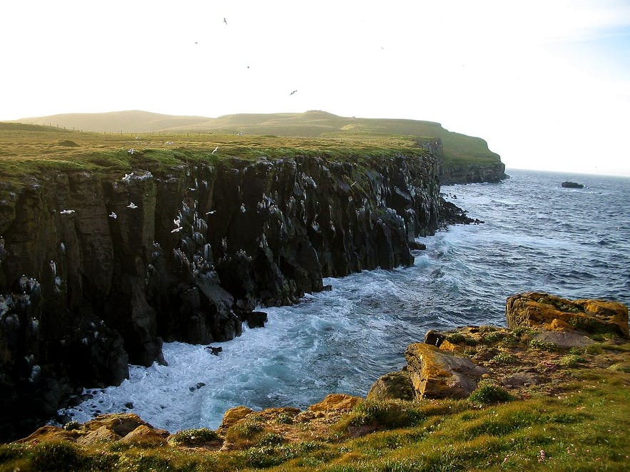 Cliffs on Grímsey are often covered with nesting seabirds.