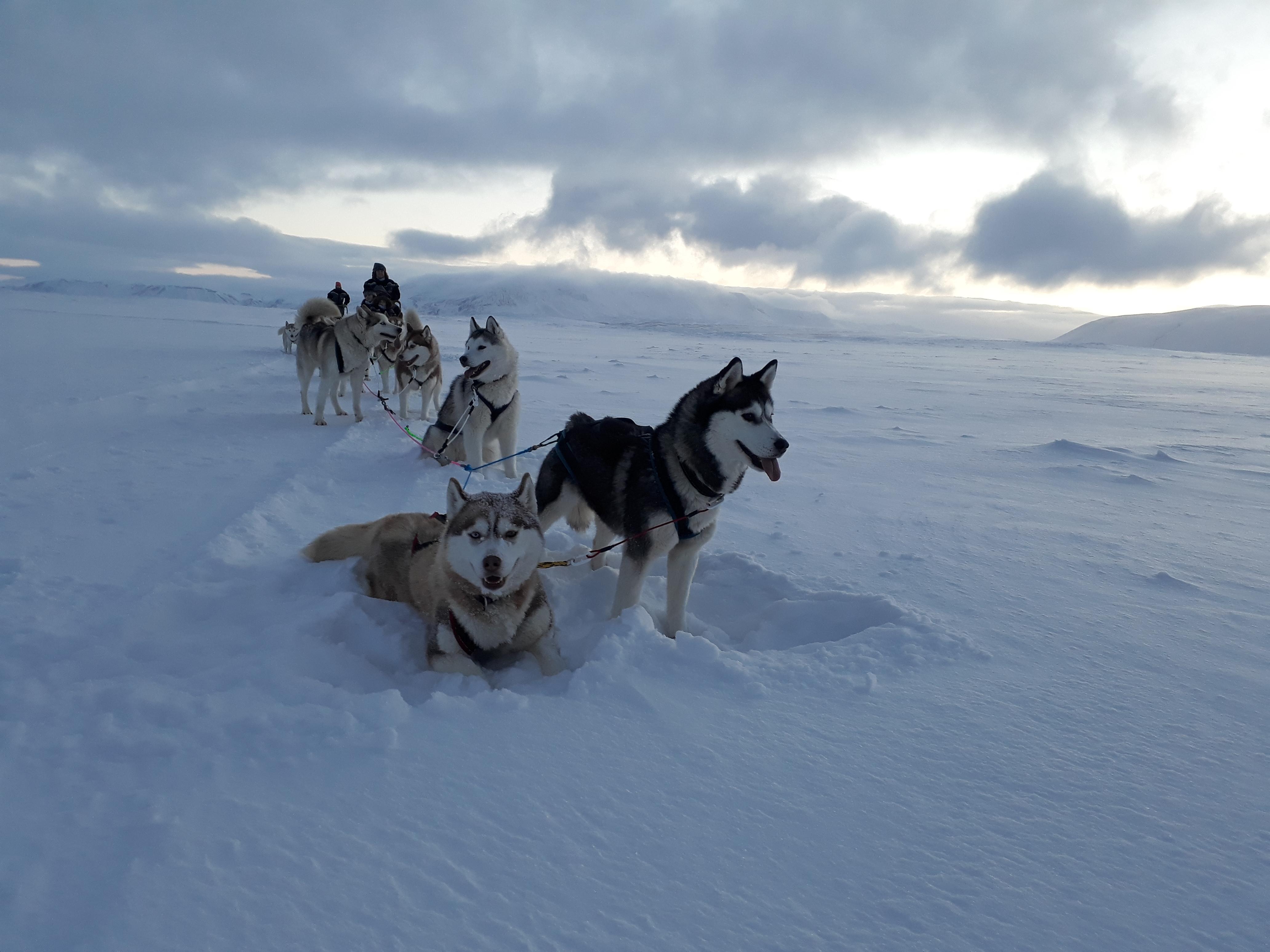 Siberian Huskies resting in the snow.