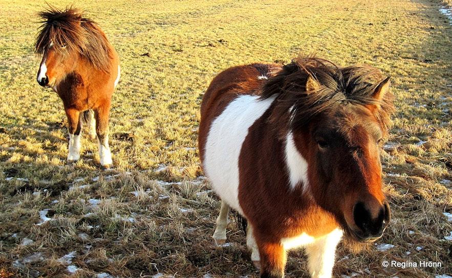 Icelandic horses in he wintertime