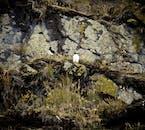 De nombreux oiseaux et macareux en Islande