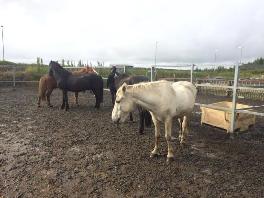 乗馬体験後にリラックスする馬たち