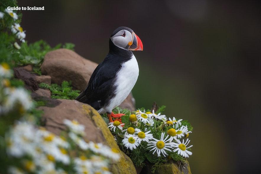 """在夏季到冰岛参加行摄旅行团有机会近距离拍摄冰岛""""国鸟""""海鹦的可爱身姿"""