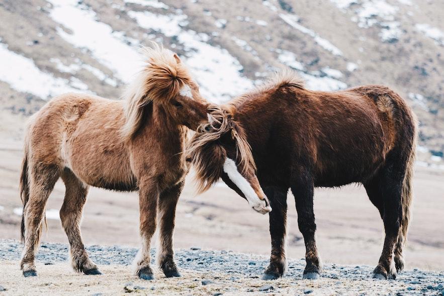 冰島初冬的冰島馬