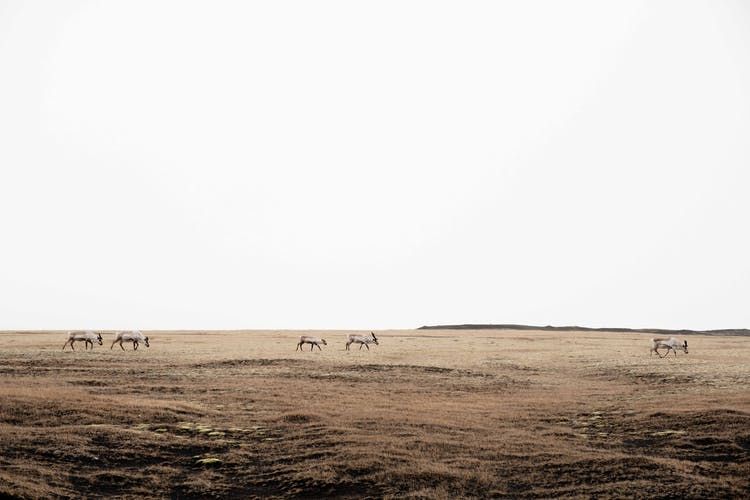 A herd of wild reindeer in East Iceland