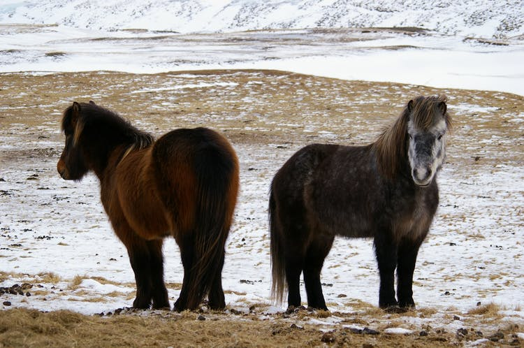 Two Icelandic horses in East Iceland
