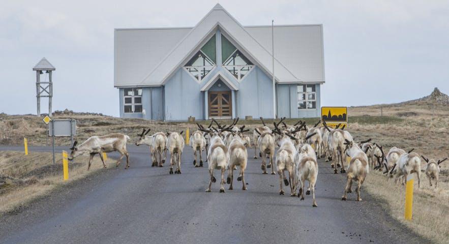 冰岛东部驯鹿