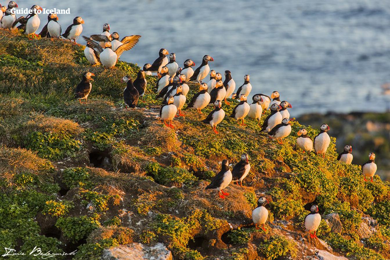 여름철 아이슬란드 곳곳에 둥지를 트고 서식하는 귀여운 퍼핀무리.