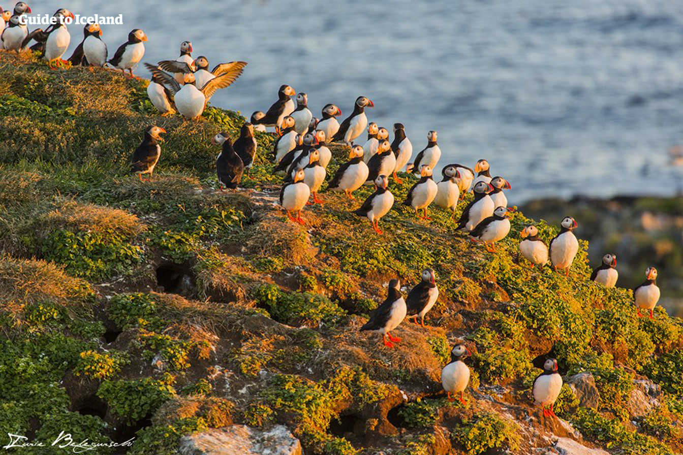 Puffins visit many regions in Iceland in the summer.