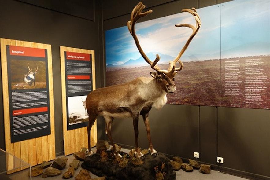 Renifer w muzeum na Fiordach Wschodnich.