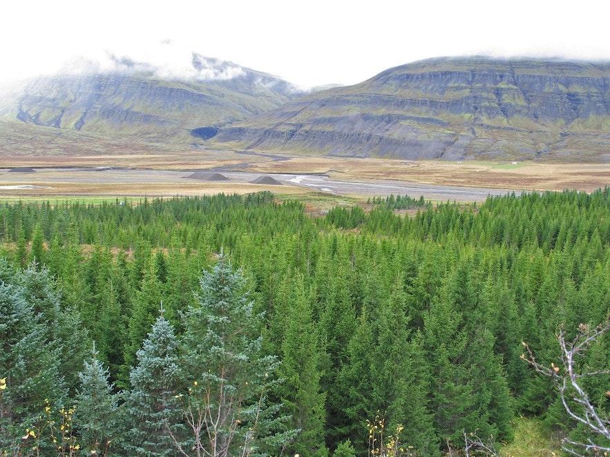 Las na Islandii, Fiordy Wschodnie.