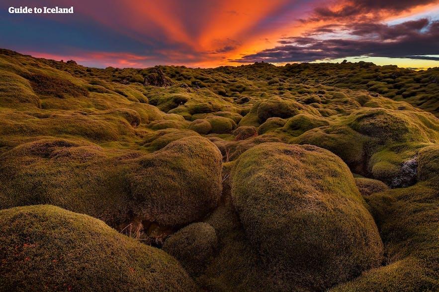 Obrośnięte mchem pola lawowe, podczas białych nocy na Islandii