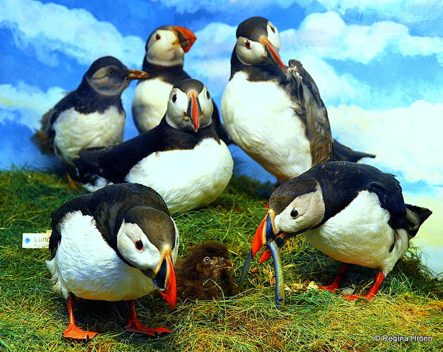 The Westman Islands - Sæheimar Museum and the Puffins - Closed with a new Home at Sea Life Trust
