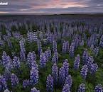 夏にはハヴラヴァトン湖の近くに一斉に咲くルピナスの花