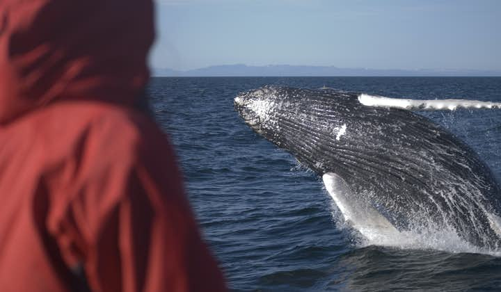 Humpback Whales can be up to fifteen metres long, and are found in Iceland's waters in summer.