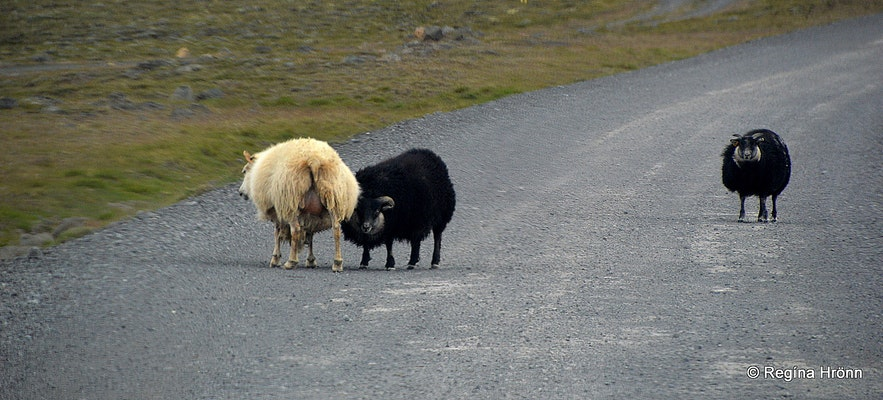 Sheep in the middle of Kjalvegur road