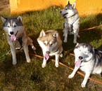 Huskies of different colours in a kennel near Akureyri.