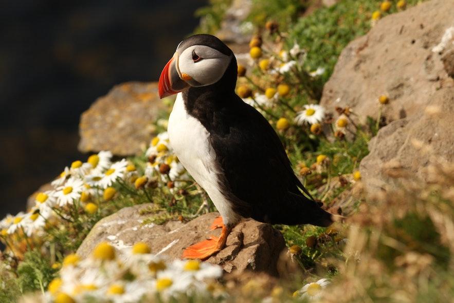 冰島西人島每到夏天就有大量的Puffin聚集