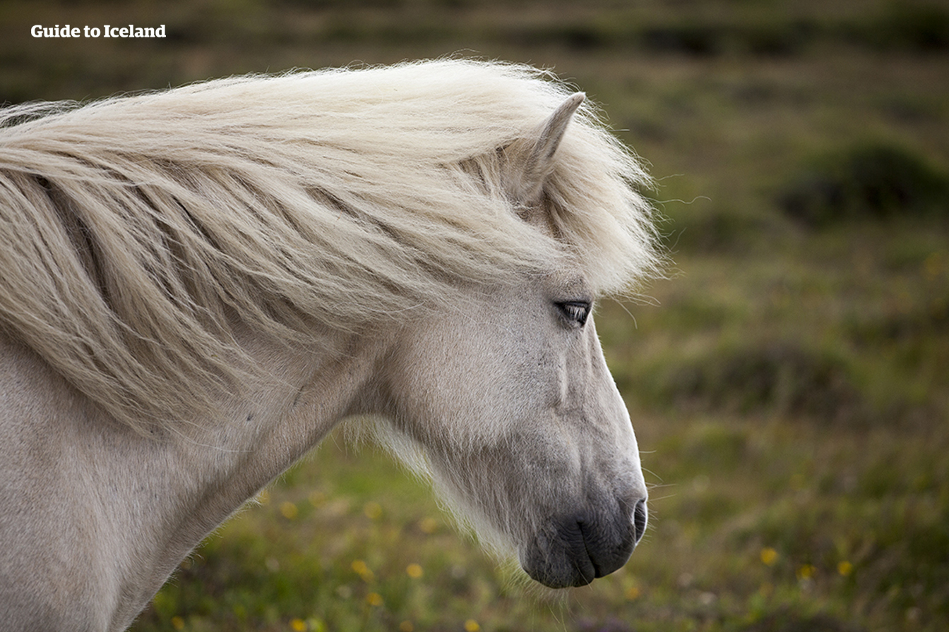 Icelandic horses are friendly and very intelligent.